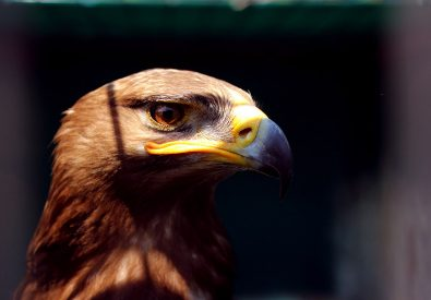 FALCONRY EXCURSIONS
