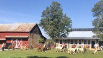 Alpaca Walk & Soap-Making at Clover Brooke Farm