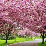 Peekskill Cherry Blossom Festival