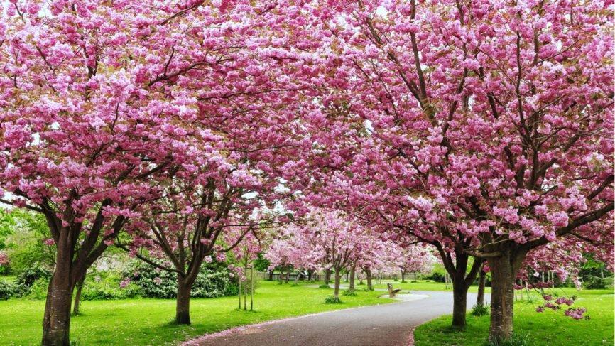 2nd Annual Cherry Blossom Festival
