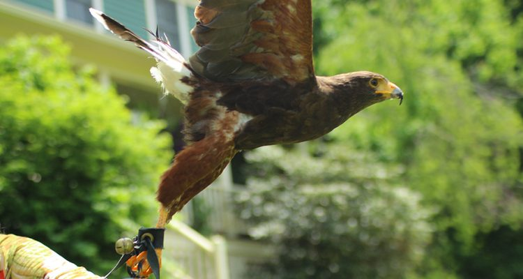Flying High with Falconry Excursions of Goshen